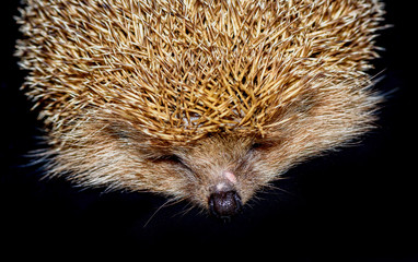Hedgehog isolated  on black background