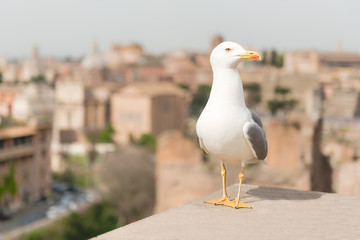 Wall Mural - Closeup of a seagull with Rome city centre as background