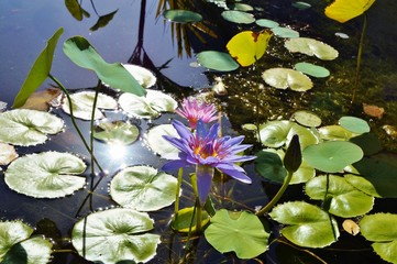 Purple waterlily lotus flowers in a pond