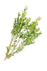 boxwood branch on a white background isolated