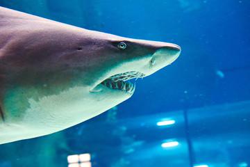 Great white shark in large oceanarium