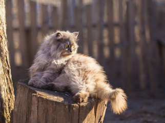 Fluffy persian cat. Close up portrait in nature