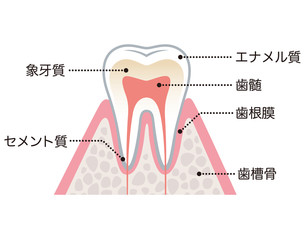 歯の構造 名称