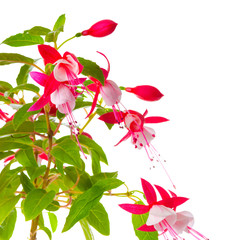 beautiful blooming branch of red and white fuchsia flower is isolated on background, `Shadow Dancer Betty`, close up