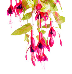 beautiful blooming branch of red and violet fuchsia flower magellanica is isolated on white background, `Gold Mountain`, close up