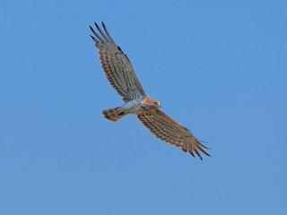 Short-toed eagle flying