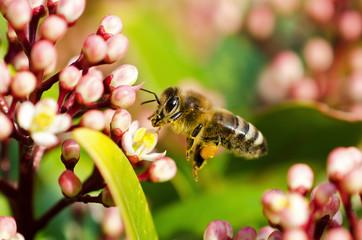 Biene (Apiformes)