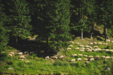 Flock of Sheep on Grass