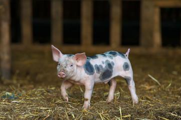 Cute piglet at the farm