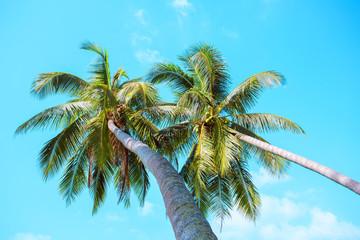 Two palms on a sky background. Koh Samui