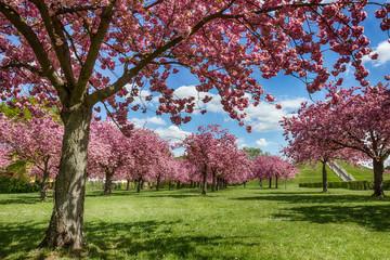 Rosa Kirschblüten im Frühling