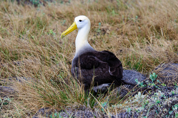 Waved Albatross in the undergrowth