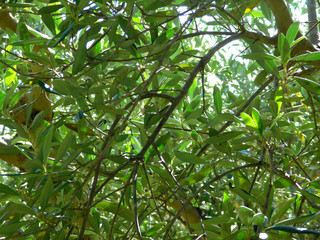 leaves olive tree