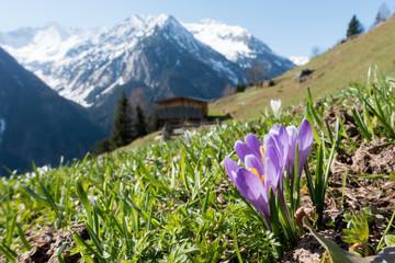 Wall Murals Crocuses Krokus Frühlingsblumen der Alpen
