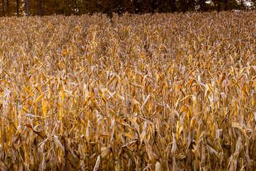 a farmer's crop field