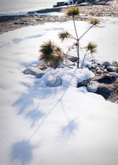 Little pine tree growing in the snow