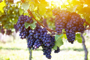 Red grapes with green leaves on the vine by sunset
