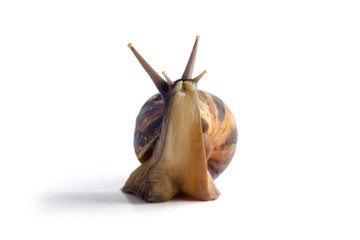 African land snail Achatina, in front of white background