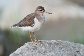 Common Sandpiper perched on a stone