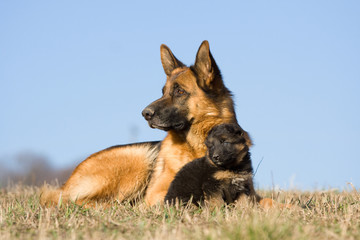 Female German Shepherd dog with nice puppy