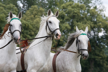 Portrait of three white running horse