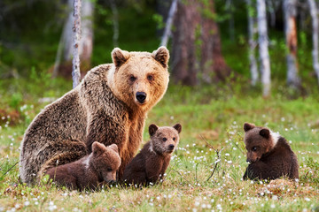 Mother brown bear and her cubs