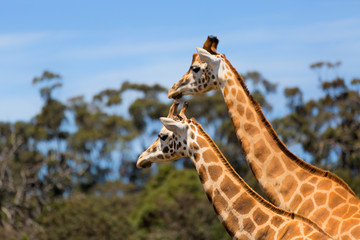 Giraffes Two Affections Wildlife Animals