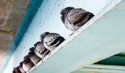 Row of gray pigeons sitting on steel beam.