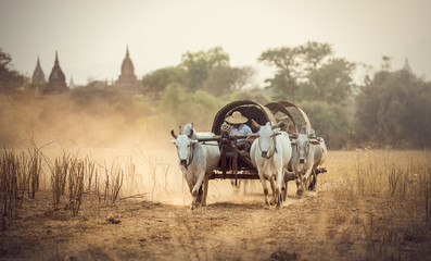 Burmese rural man driving wooden cart with hay on dusty road drawn