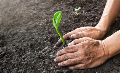 Fototapeta Man hands planting the young tree while working in the garden obraz