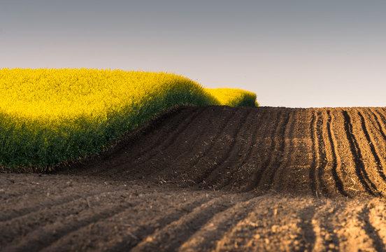 Rapeseed yellow field