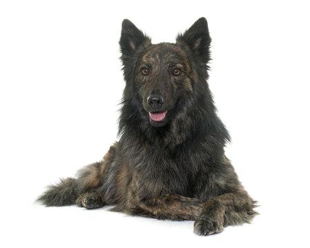 Dutch Long haired shepherd