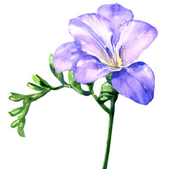 Delicate lilac freesia flower blossom, isolated on white, watercolor illustration