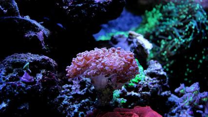 Hammer Coral (Euphyllia ancora)