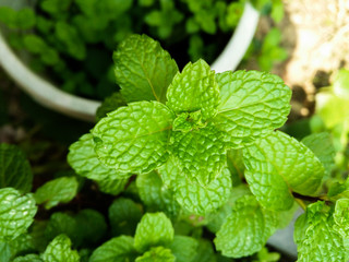 Close up of fresh mints growing in the vegetable garden
