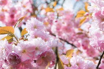 Zierkirschen im Frühling, Nahaufnahme