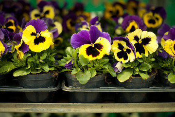 Photo sur Toile Pansies colorful pansies