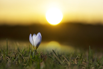 crocus at dawn