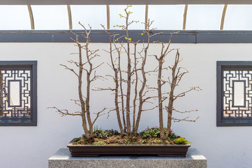 Group of Ginkgo biloba bonsai