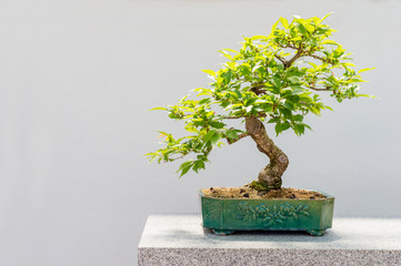 Foto op Plexiglas Bonsai Kurile cherry tree bonsai