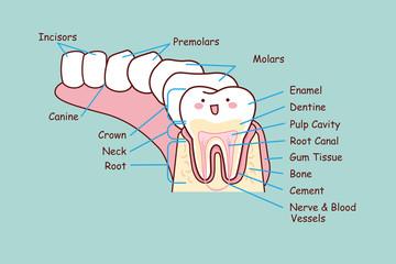 human dental anatomy tooth