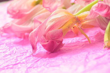 wilted pink tulips