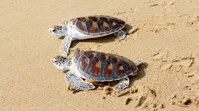 Hawks-bill sea turtle release to the freedom