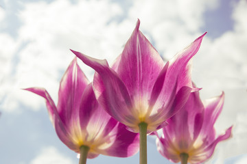 Beautiful bouquet of tulip. colorful tulip. tulip in spring,colorful tulip