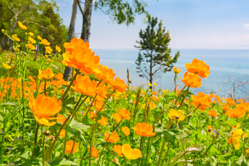 Field of blooming orange flowers on a background of Baikal