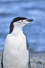 Penguin Chinstrap