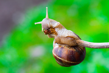 snail hanging on a thin branch and eating it on the green natural blurry background. close-up, selective focus