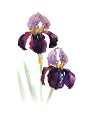 Composition with two irises. Flower backdrop. Decoration with blooming flowers. Bouquet of  irises. Watercolor hand drawn illustration.