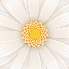 White gerbera flower, square illustration