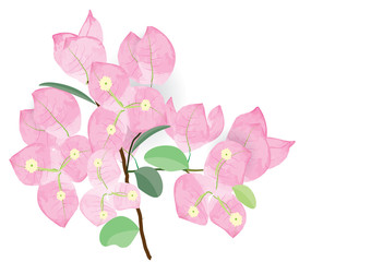 Bougainvillea pink flowers with branch on white background